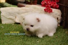 chien-spitz-blanc
