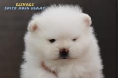 chien-spitz-nain-blanc