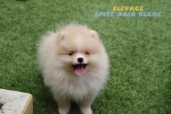 chien-spitz-nain