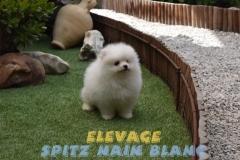 spitz-allemand-nain-blanc