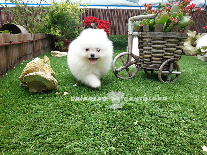 cachorro-pomerania-blanco-toy11