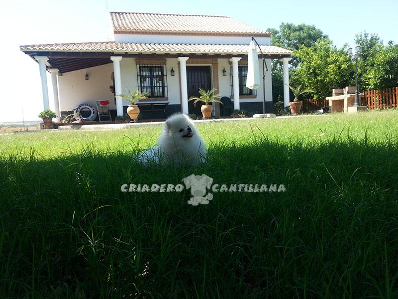 compro-pomerania-blanco3
