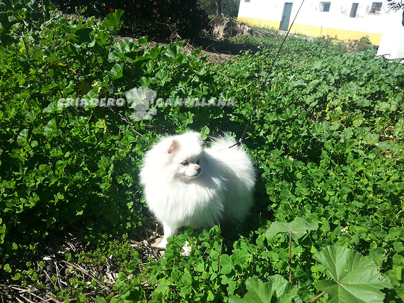 criadero-de-pomerania-blanco-toy211