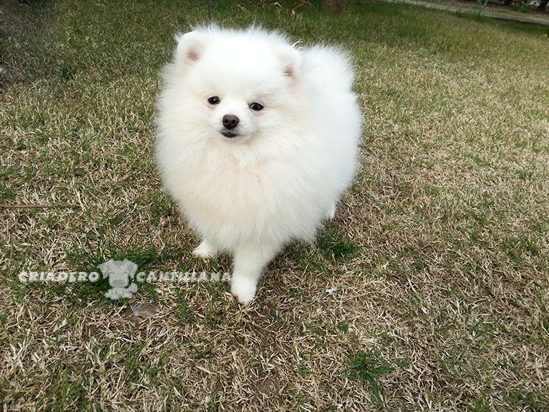 criadero-pomerania-blanco-enano111