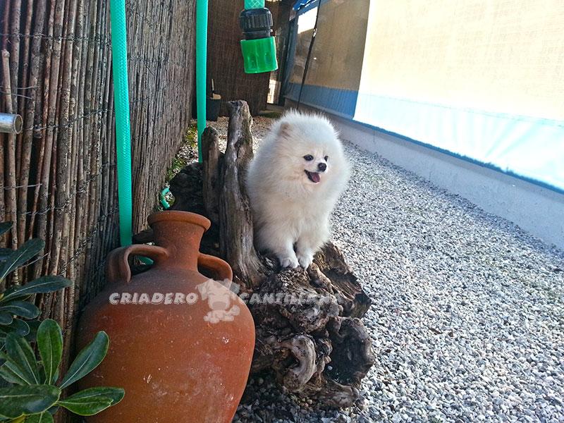 criadero-pomerania-blanco-enano12