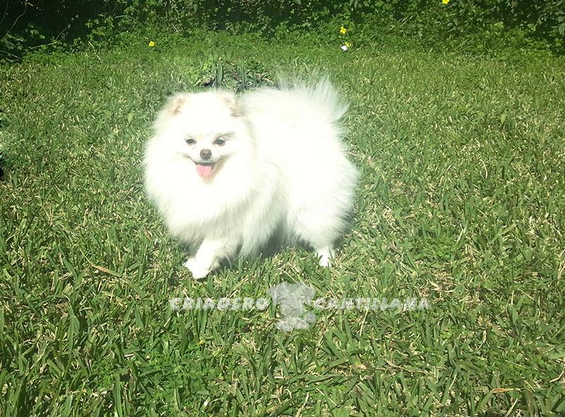 criadero-pomerania-blanco-enano211