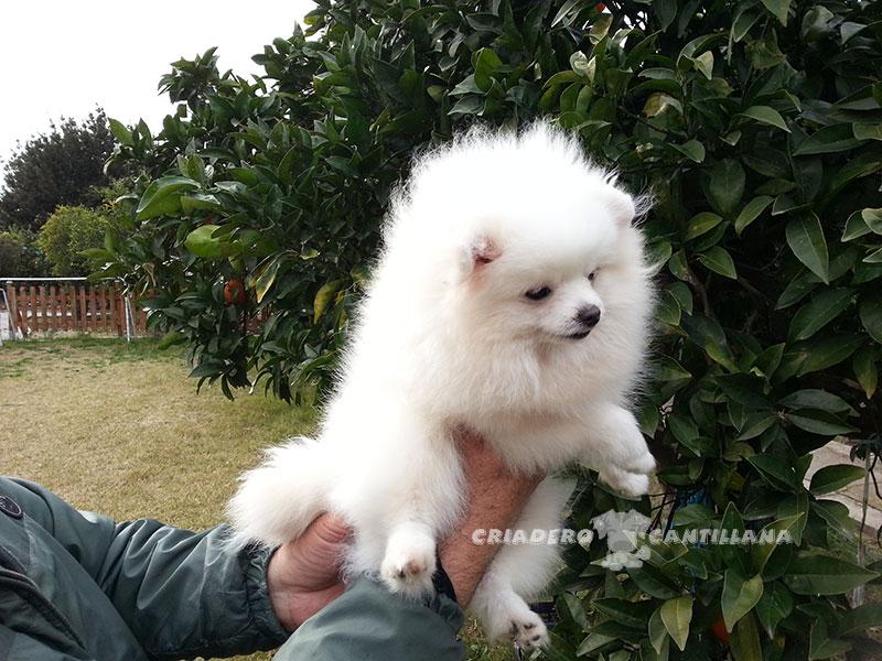 criadero-pomerania-blanco-miniatura111