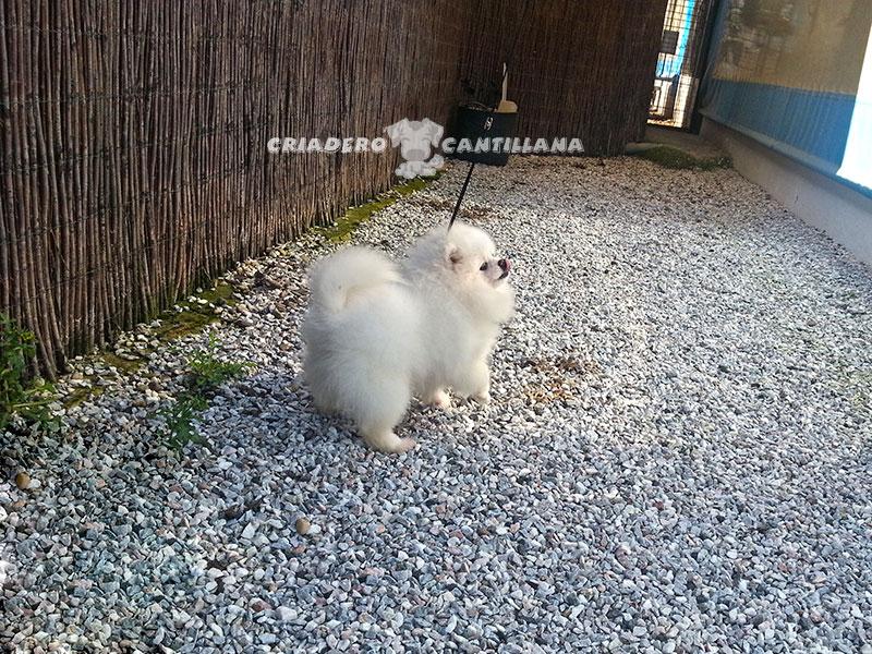 criadero-pomerania-blanco-miniatura12
