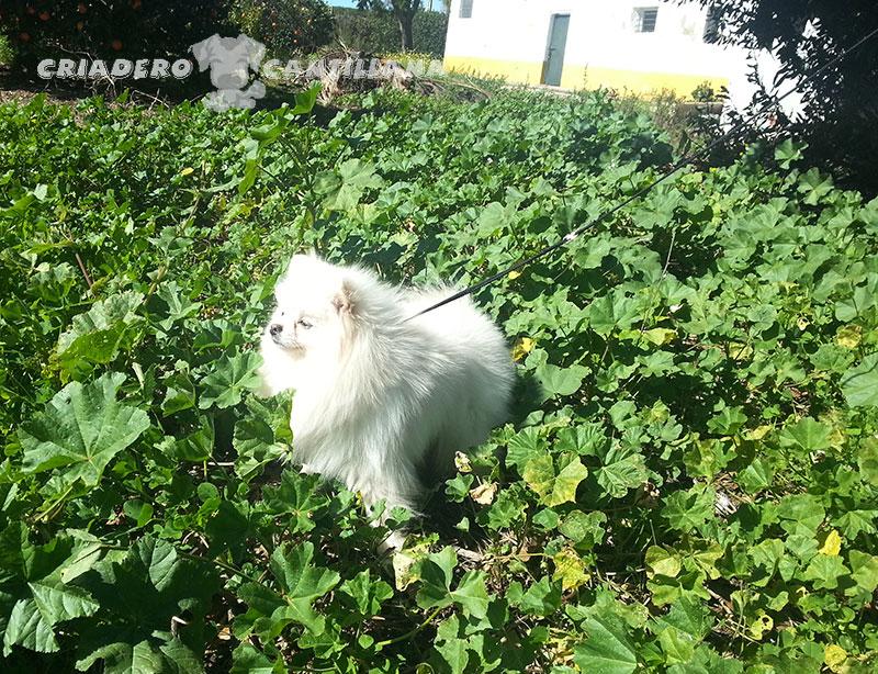 criadero-pomerania-blanco-miniatura211