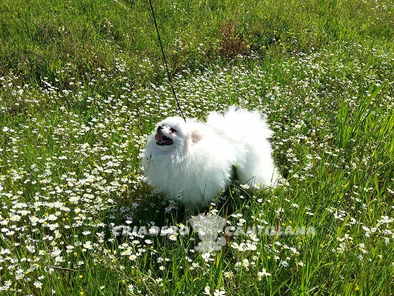 criadero-pomerania-blanco-toy121