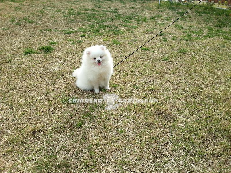 criadero-pomerania-blanco-toy211