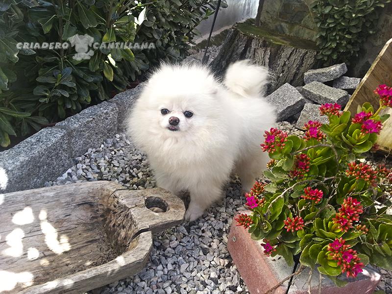 criadero-pomerania-blanco-toy22