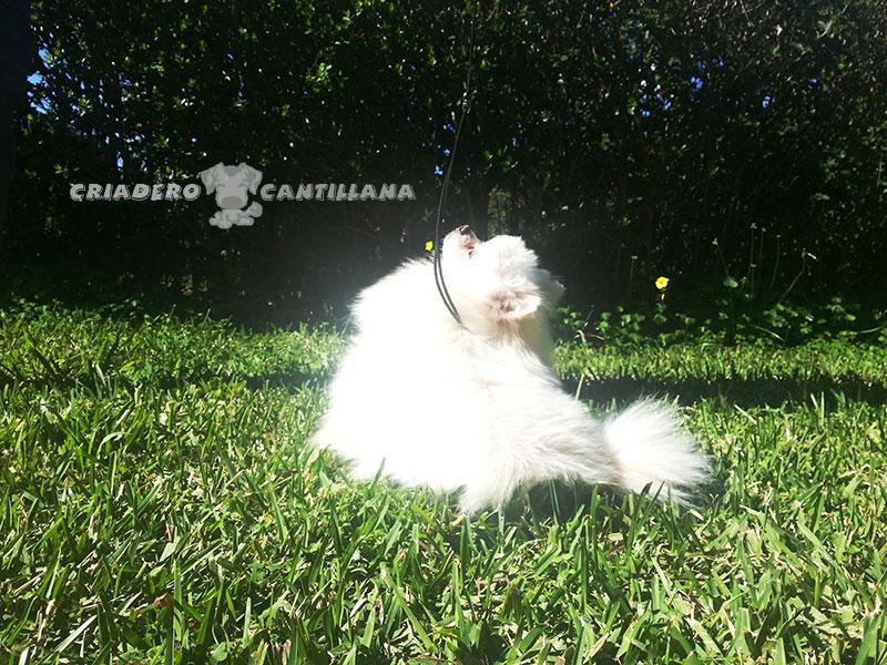 criadero-pomerania-blanco-toy311