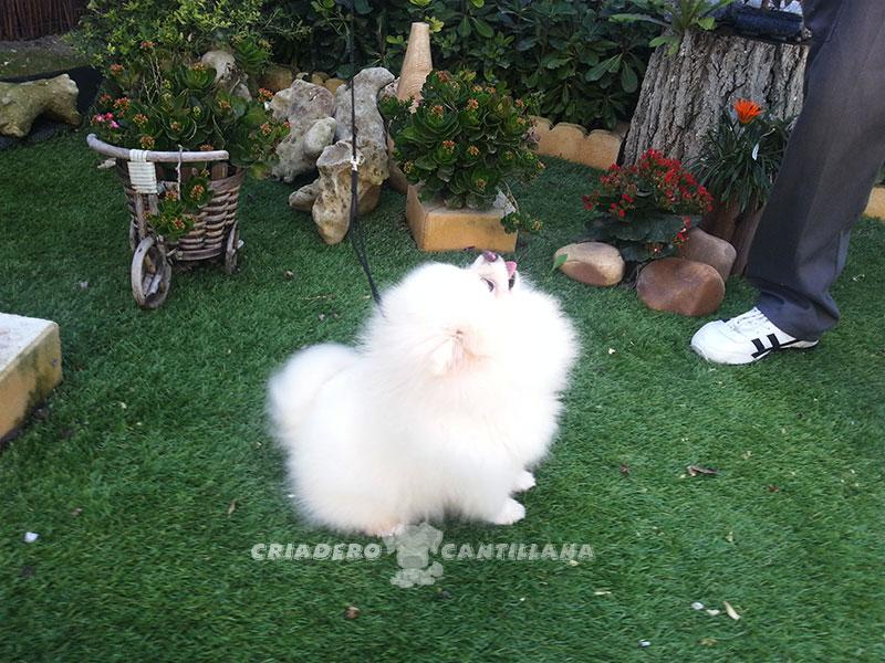 criadero-pomerania-blanco22