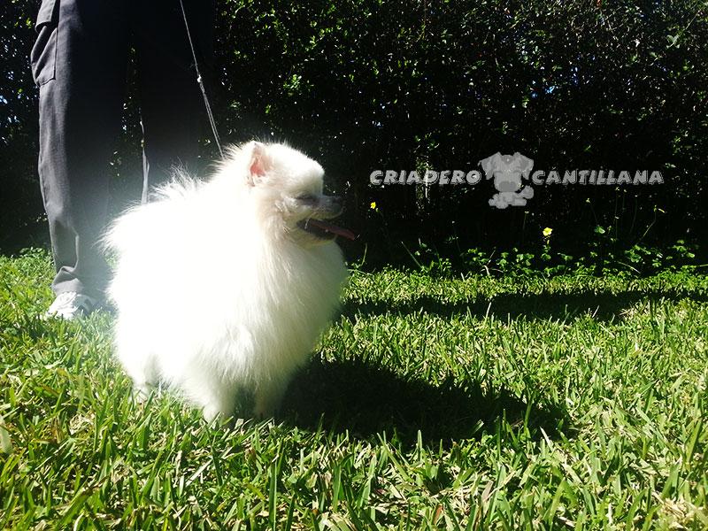 criadero-pomerania-blanco311