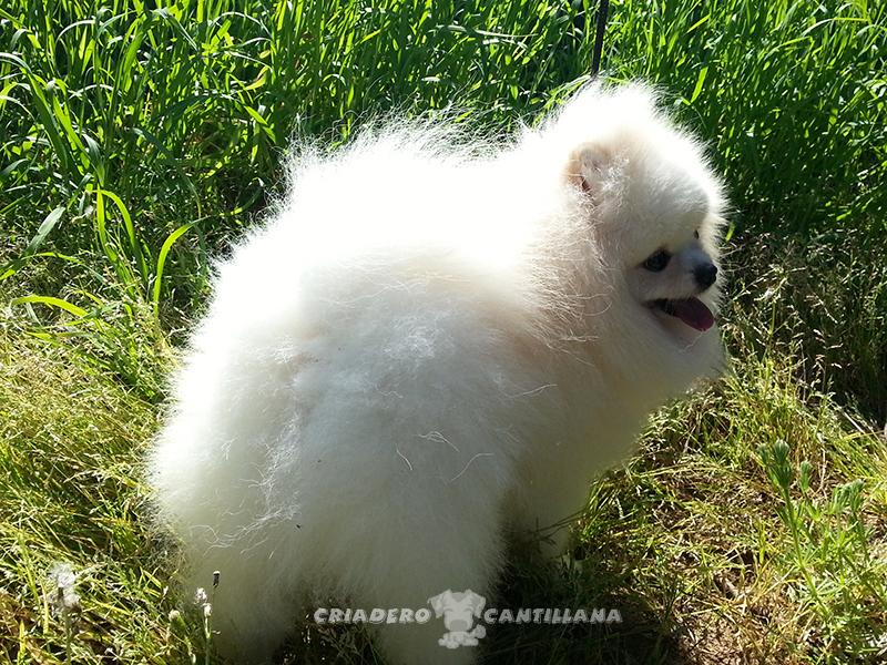 criadero-pomerania-blanco51