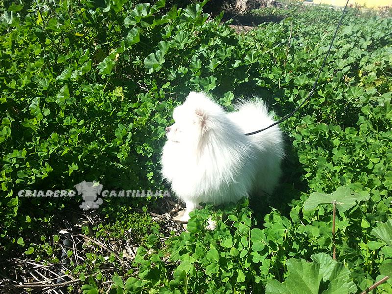 criador-pomerania-blanco-enano211