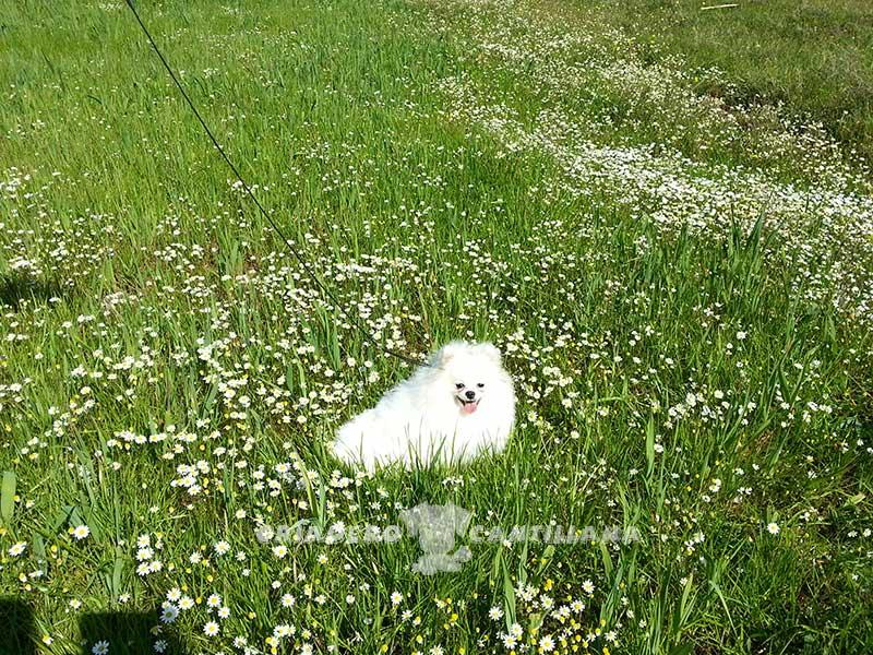 criador-pomerania-blanco121
