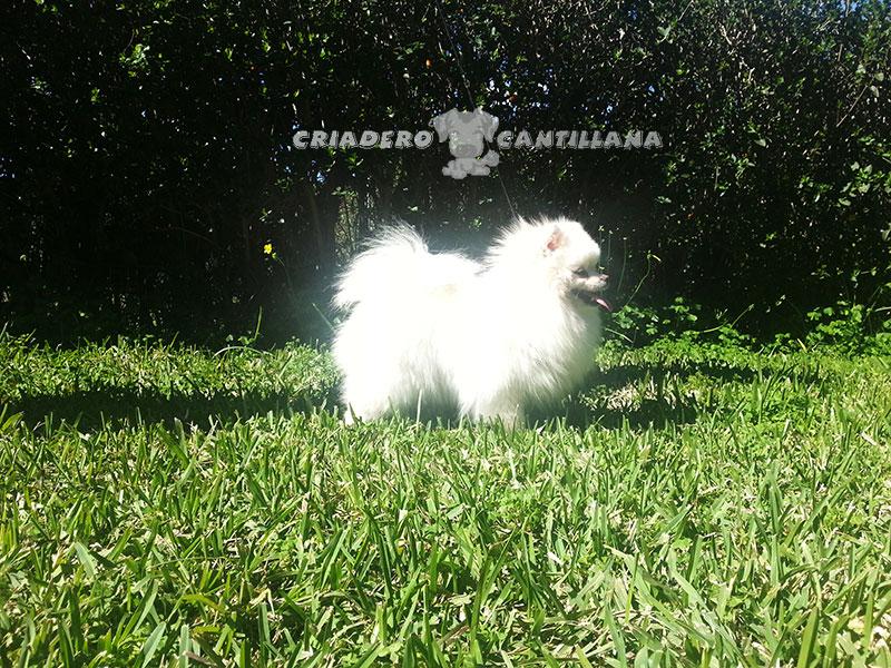 criador-pomerania-blanco211