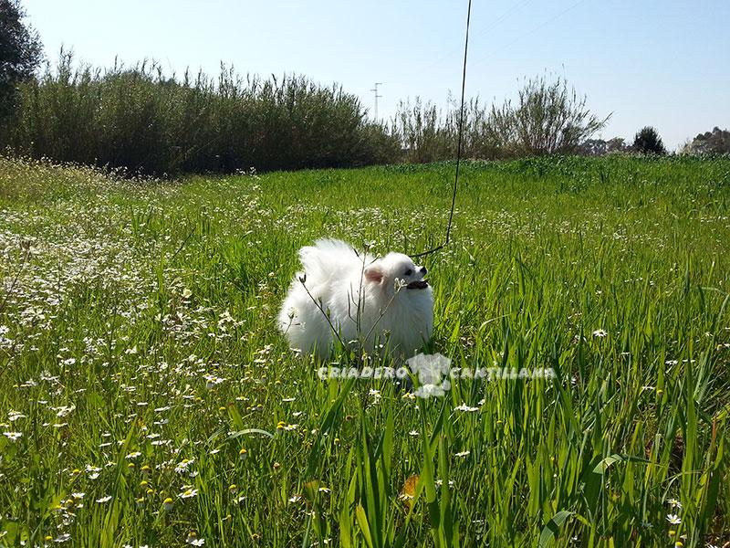 perro-pomerania-blanco-toy21