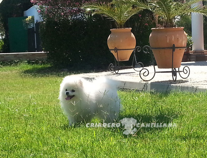 perro-pomerania-blanco111
