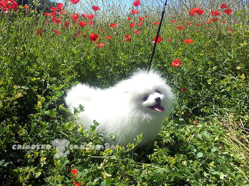 perro-pomerania-blanco12