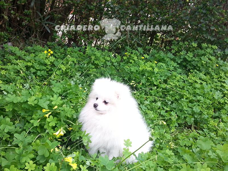 perro-pomerania-blanco21