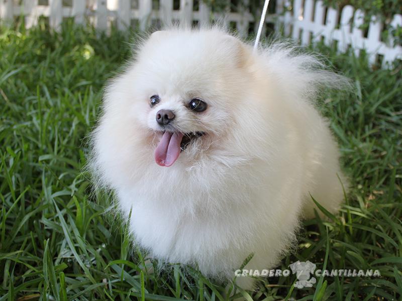 perro-pomerania-blanco41