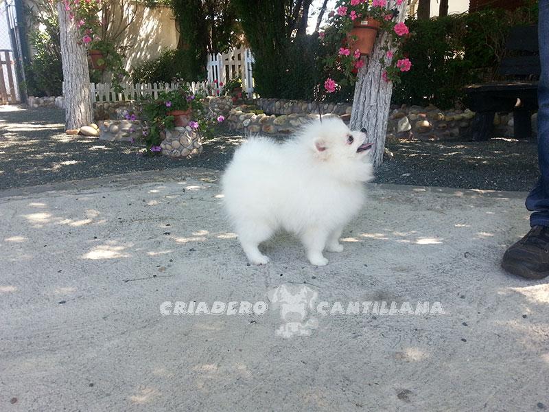 pomerania-blanco-enano12