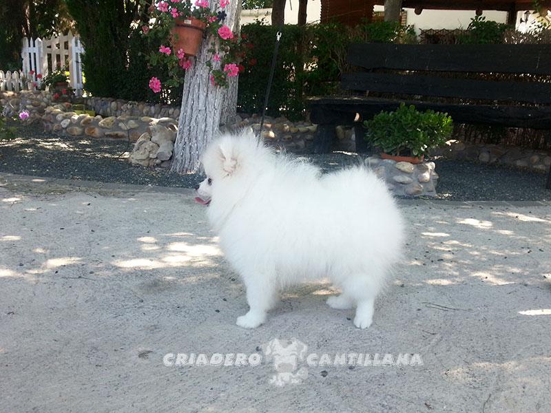 pomerania-blanco-miniatura12