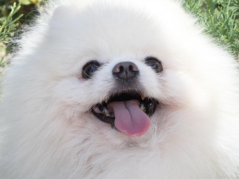 pomerania-perro-blanco21