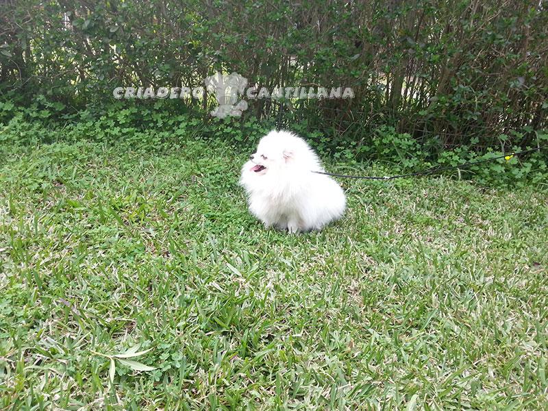 precio-perro-pomerania-blanco111