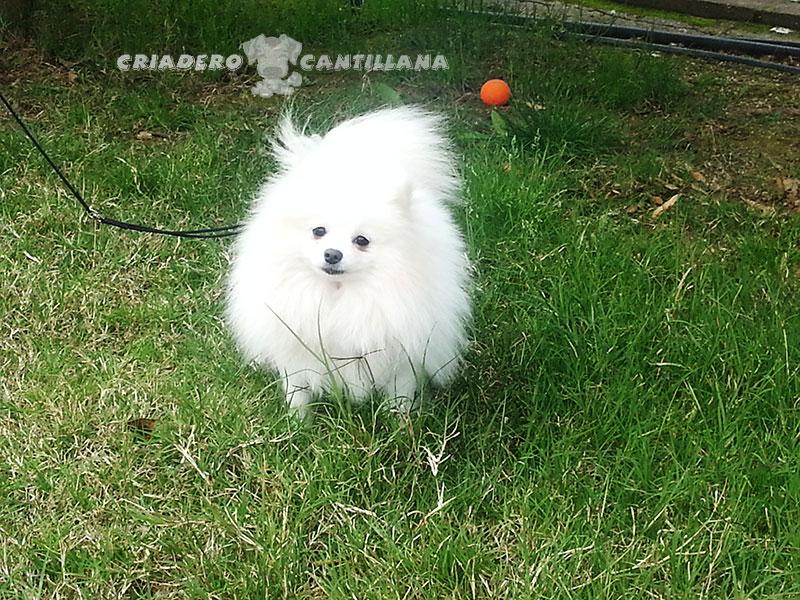 venta-pomerania-blanco-enano111