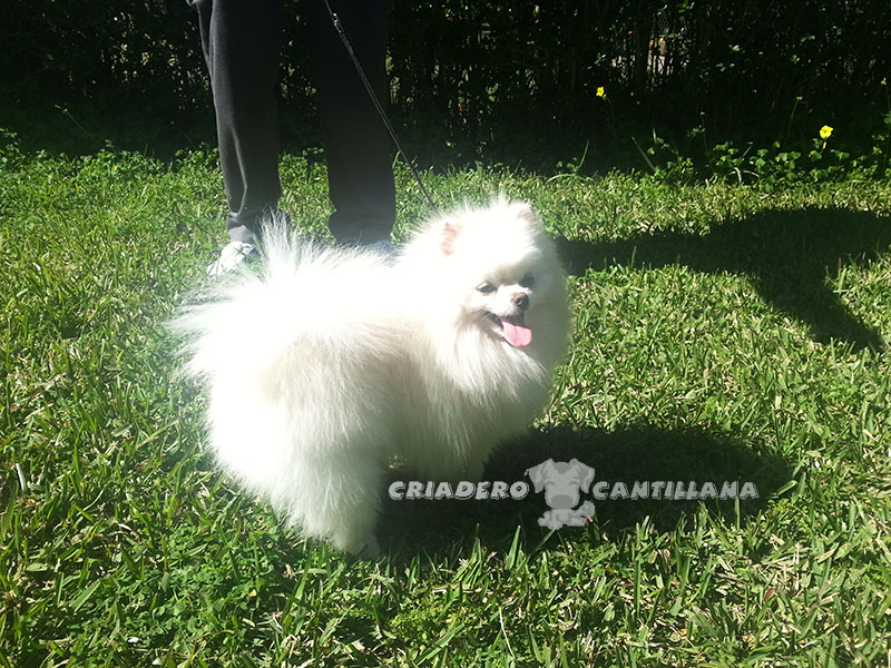venta-pomerania-blanco-miniatura111