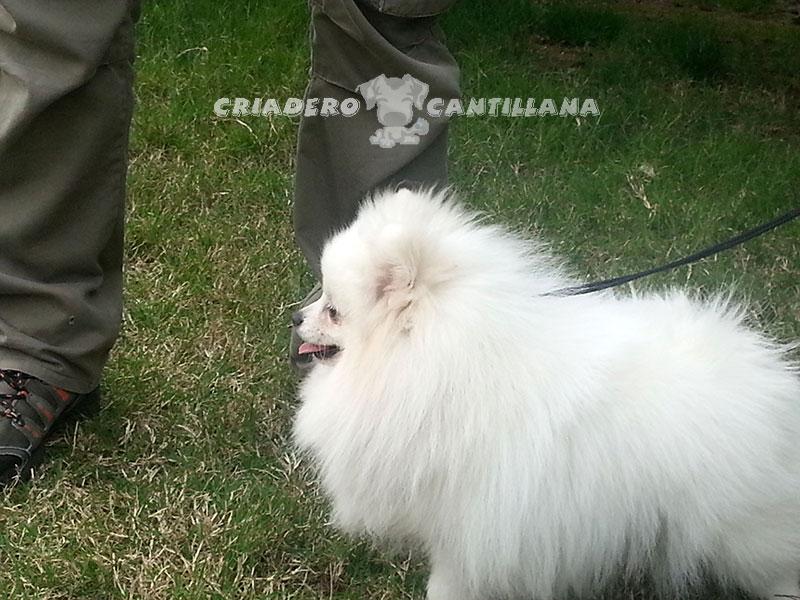 venta-pomerania-blanco-toy111