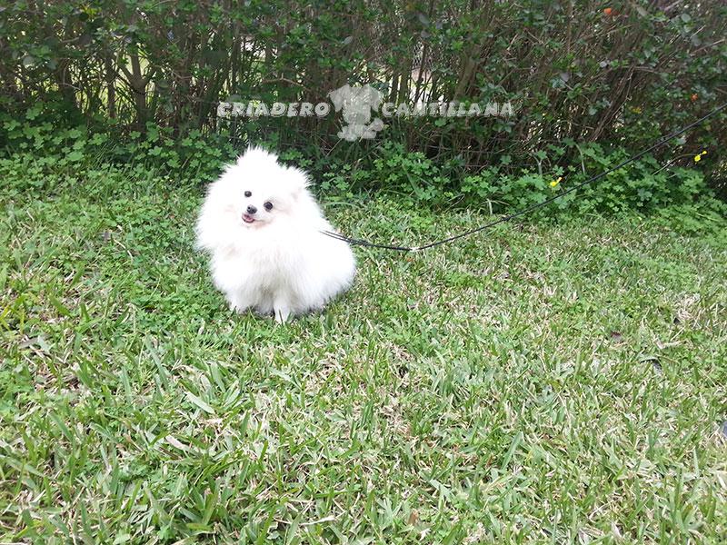 venta-pomerania-blanco111