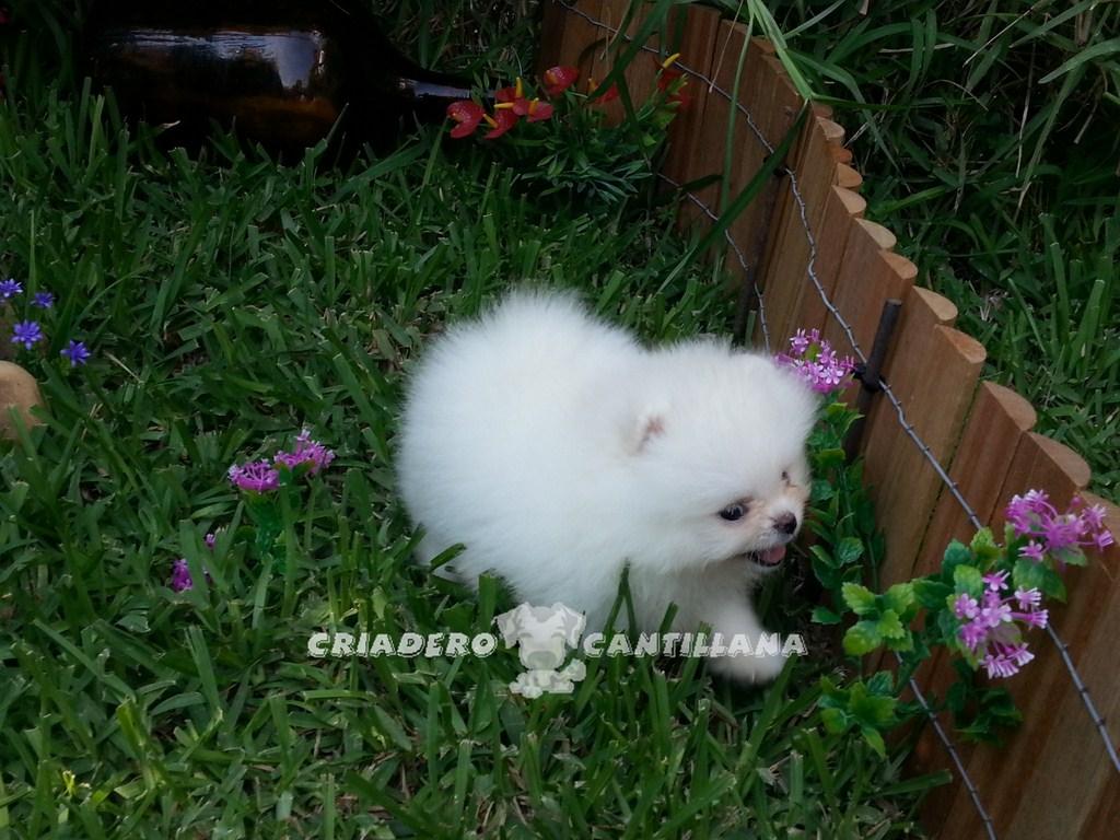 cachorro-de-pomerania-blanco