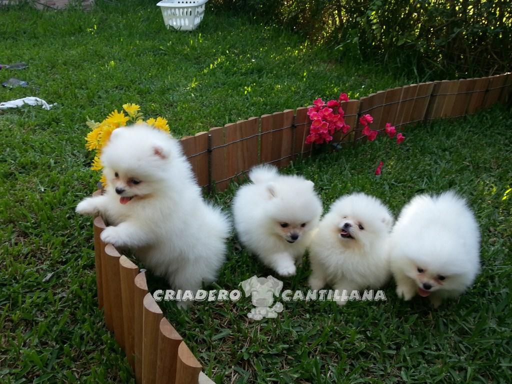 cachorros-de-pomeranias-blancos