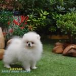 chien spitz nain blanc