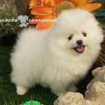 chien spitz blanc