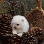 chiot spitz nain blanc