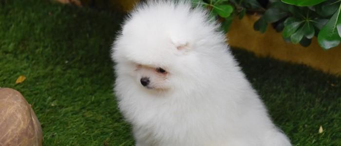 chien loulou de pomeranie