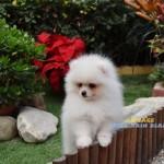 poméranie chien