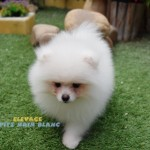 chien nain spitz