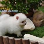 élevage spitz nain