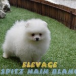 chien spitz nain a vendre
