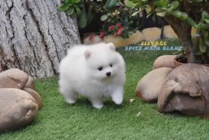 chien spitz nain