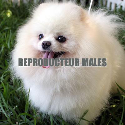 Reproducteurs males - spitz nain blanc